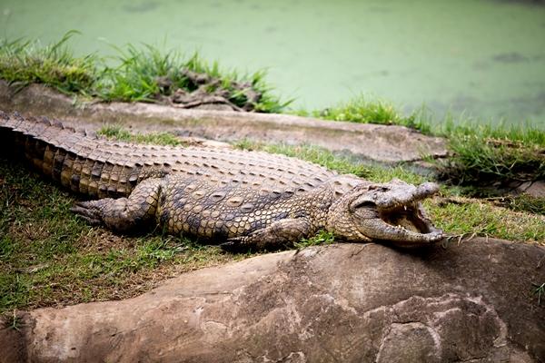 Crocodile - Phezulu Safari Park